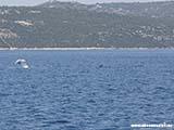 Дельфины в Хорватии Хорватия отдых 2013