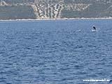 Дельфины в Хорватии2 Хорватия отдых 2013